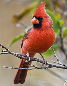 northern-cardinal-perched